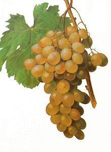 Uvas Moscatel Española